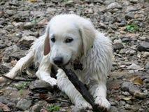 在岩石床上的湿小狗 免版税库存图片