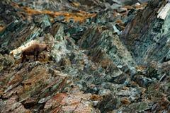 在岩石掩藏的动物 鹿角高山高地山羊,山羊属高地山羊,与色的岩石在背景中,动物在石自然栖所, 免版税库存照片