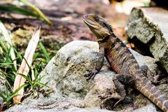 在岩石有胡子的龙的蜥蜴 库存图片