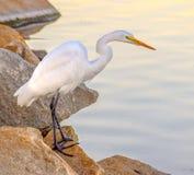 在岩石栖息的伟大的白鹭在Santee湖 库存照片