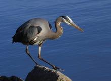 在岩石栖息的伟大蓝色的苍鹭的巢 免版税库存图片