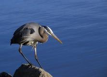 在岩石栖息的伟大蓝色的苍鹭的巢 库存照片