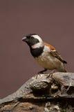 在岩石栖息的公海角麻雀 免版税图库摄影