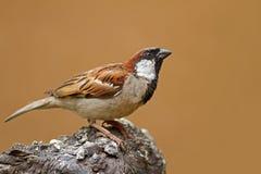 在岩石栖息的公麻雀 免版税库存照片
