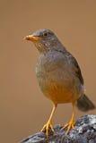 在岩石栖息的南部非洲的干旱台地高原鹅口疮 免版税库存照片