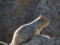 在岩石栖息的地松鼠 免版税库存图片