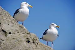 在岩石栖息的海鸥 库存图片