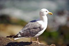 在岩石栖息的海鸥 免版税库存图片
