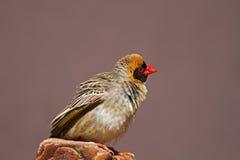 在岩石栖息的红开帐单的Quelea 库存图片