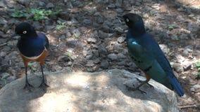 在岩石栖息的非洲橄榄色的鸽子 影视素材