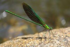 在岩石栖息的绿色蜻蜓 库存照片
