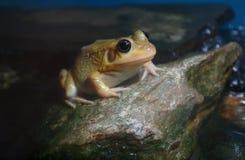 在岩石水池河环境两栖动物的黄色青蛙 免版税库存图片