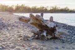 在岩石波罗的海海滩的断枝 免版税图库摄影