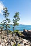 在岩石海岸的两棵杉木在巴港附近 免版税库存图片