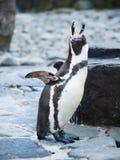 在岩石海岸的尖叫的洪堡企鹅 库存照片
