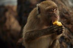 在岩石海岸的猴子 库存图片