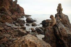 在岩石海岸的猴子 库存照片
