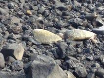 在岩石海滩夏威夷的观看的海龟 图库摄影
