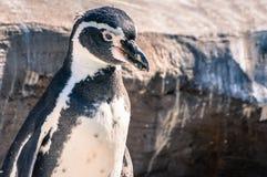 在岩石环境等待的食物的大企鹅在动物学公园 库存照片