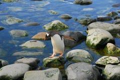 在岩石的一只企鹅 免版税库存照片