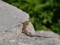 在岩石的一只克罗地亚蜥蜴 图库摄影