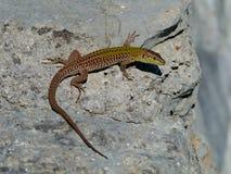 在岩石的一只克罗地亚蜥蜴 免版税库存照片