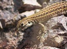 在岩石的一只新的墨西哥人Whiptail蜥蜴 免版税库存图片