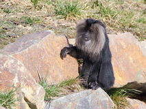 在岩石的一只狮子被盯梢的短尾猿 库存图片