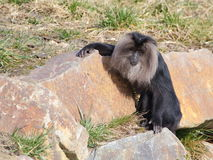 在岩石的一只狮子被盯梢的短尾猿 免版税库存照片