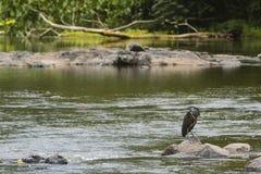 在岩石的一只苍鹭 库存照片