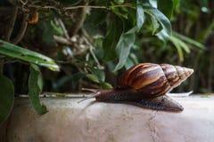 在岩石的一只蜗牛 免版税图库摄影