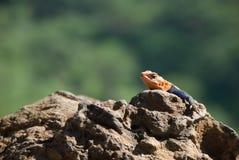 在岩石的一只蜥蜴 免版税库存照片