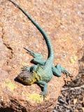 在岩石的一只蜥蜴 库存照片