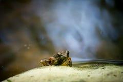 在岩石的一只青蛙 库存照片