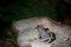 在岩石的一只青蛙 免版税库存照片
