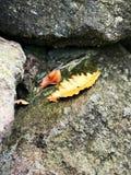 在岩石的一片黄色叶子 免版税库存图片