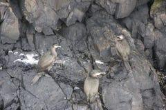 在岩石的三只鸟 库存照片