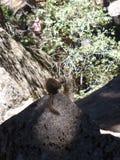 在岩石的上面的一只灰鼠 免版税库存照片