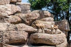 在岩石的两只山羊 库存图片