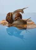 在岩石的两只蜗牛 免版税库存照片