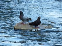 在岩石的两只鸽子在采取休息的河 免版税库存图片