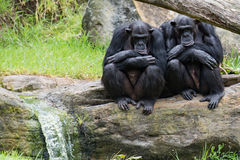 在岩石的两只黑猩猩 图库摄影