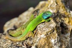 在岩石的两只绿色鲜绿色光滑的壁虎蜥蜴 库存图片