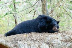 在岩石的亚洲黑熊睡眠 免版税库存图片