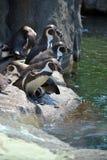 在岩石的企鹅由水 免版税库存图片