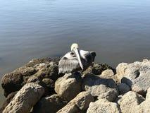 在岩石的佛罗里达布朗鹈鹕 照片图象 库存照片