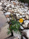 在岩石的偏僻的花 免版税库存照片