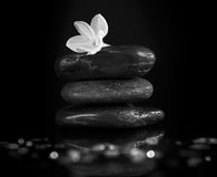 在岩石的典雅的黄水仙花,黑 免版税图库摄影