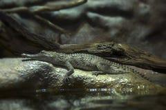 在岩石的凯门鳄 免版税库存图片