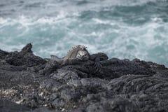 在岩石的加拉帕戈斯群岛海产鬣蜥蜴 免版税图库摄影